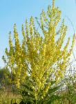 Mehlige Koenigskerze Bluetenstand gelb Verbascum lychnitis 06
