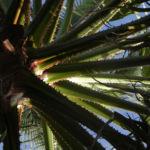 Mexikanische Washingtonpalme Fächer grün Washingtonia robusta 05