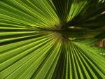 Mexikanische Washingtonpalme Fächer grün Washingtonia robusta 09