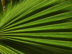 Mexikanische Washingtonpalme Fächer grün Washingtonia robusta 10