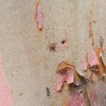 Mexikanischer Erdbeer Baum Blatt gruen Bluet weiss Frucht orange Arbutus glandulosa 04