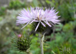 Milchfleck Distel Bluete weiß pink Galactites tomentosus 05