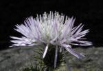 Milchfleck Distel Bluete weiß pink Galactites tomentosus 13