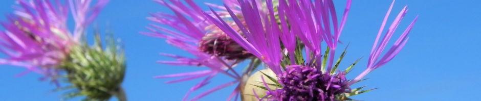 milchfleckdistel-bluete-pink-galactites-tomentosa