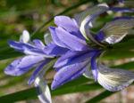 Milchweisse Schwertlilie Bluete Iris lactea 01