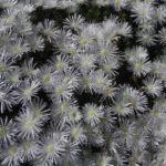 Mittagblume Bluete weiss Delosperma 05