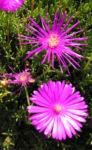 Mittagsblume Bluete leuchtend pink Delosperma aberdeenense 04