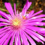 Mittagsblume Bluete leuchtend pink Delosperma aberdeenense 05