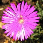 Mittagsblume Bluete leuchtend pink Delosperma aberdeenense 09