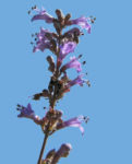 Moenchspfeffer Keuschbaum Bluete Dolde hell pink Vitex agnus castus 01