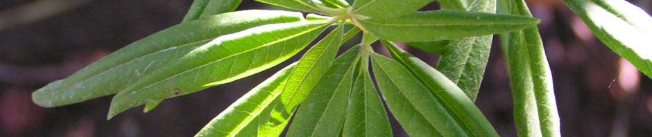moenchspfeffer-keuschbaum-vitex-agnus-castus