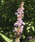 Moenchspfeffer Keuschbaum Bluete Dolde hell pink Vitex agnus castus 07
