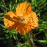 Mohn Bluete orange Papaver popovii 01