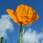 Mohn Bluete orange Papaver popovii 06