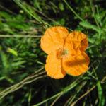 Mohn Bluete orange Papaver popovii 08
