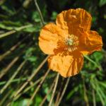Mohn Bluete orange Papaver popovii 09