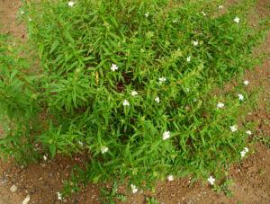 Montpellier Zistrose Bluete weiß Cistus monspeliensis 01