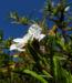 Zurück zum kompletten Bilderset Montpellier-Zistrose Blüte weiß Cistus monspeliensis