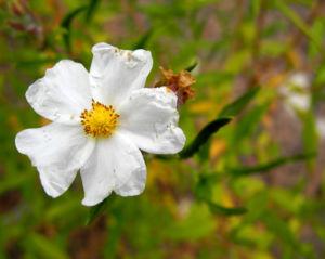 Montpellier Zistrose Bluete weiß Cistus monspeliensis 12