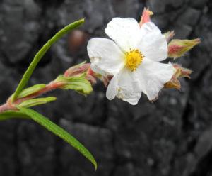 Montpellier Zistrose Bluete weiß Cistus monspeliensis 20