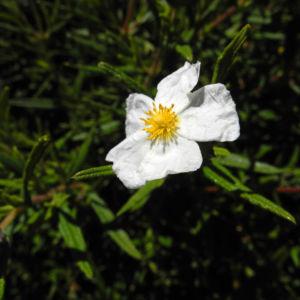 Montpellier Zistrose Bluete weiß Cistus monspeliensis 21