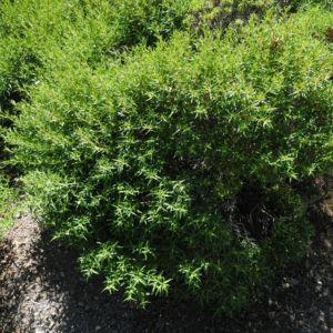 Montpellier Zistrose Bluete weiß Cistus monspeliensis 25