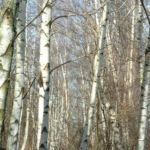 Moorbirke Stamm Betula pubescens 04