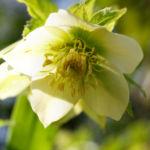 Morgenlaendische Nieswurz Bluete weisslich Helleborus orientalis 06