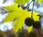 Morgenlaendische Platane Baum Frucht Blatt gruen Platanus orientalis 05