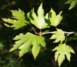 Morgenlaendische Platane Baum Frucht Blatt gruen Platanus orientalis 07