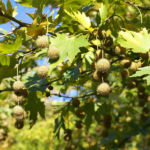 Morgenlaendische Platane Baum Frucht Blatt gruen Platanus orientalis 10