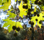 Morgenlaendische Platane Baum Frucht Blatt gruen Platanus orientalis 11