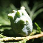 Morgenlaendischer Lebensbaum Frucht blaugruen Platycladus orientalis 02