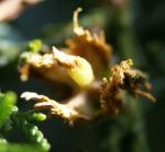 Morgenlaendischer Lebensbaum Frucht blaugruen Platycladus orientalis 05