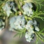 Morgenlaendischer Lebensbaum Frucht blaugruen Platycladus orientalis 10
