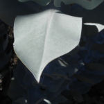 Mottlecah Mudelka Eukalyptus Blatt silber gruen Eucalyptus macrocarpa 07