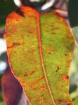 Mugga Eukalyptus Blatt Eucalyptus sideroxylon 09