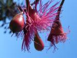 Mugga Eukalyptus Bluete pink Eucalyptus sideroxylon 15
