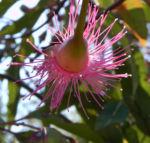 Mugga Eukalyptus Bluete pink Eucalyptus sideroxylon 21
