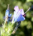 Natternkopf Kraut Bluete blau Echium vulgare 02