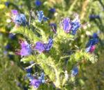 Natternkopf Kraut Bluete blau Echium vulgare 04