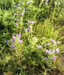 Natternkopf Kraut Bluete blau Echium vulgare 06