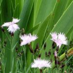 Nelke Nordstjernen Bluete cremerosa Dianthus gratianopolitanus 02