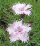 Nelke Nordstjernen Bluete cremerosa Dianthus gratianopolitanus 05