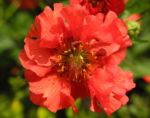 Nelkenwurz Bluete rot Geum chiloense 15