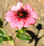 Nepal Fingerkraut Bluete pink Potentilla nepalensis 07