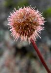Neuseeland Burr Bluete roetlich Acaena microphylla 11