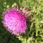 Nickende Distel Bluete pink Carduus nutans 01