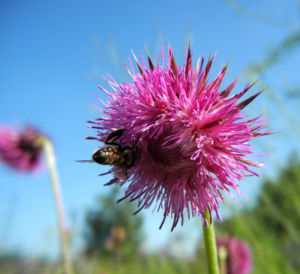 Nickende Distel Bluete stachelig lila Carduus nutans 06