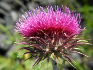 Nickende Distel Bluete stachelig lila Carduus nutans 31